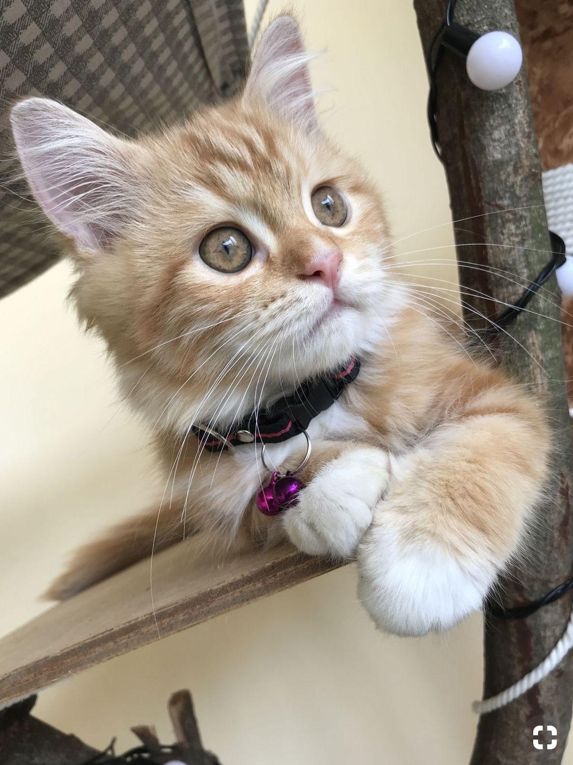 Adorable Orange Kitten Kittens Cutest Cute Cats Cute Cats And Kittens