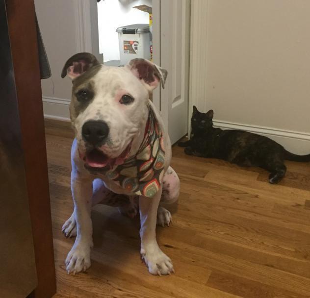 Adopt Wellington On Animal Help Pitbull Terrier Adoption