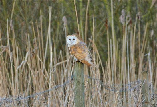 Recent sightings   Bird sightings, Birds, Owl