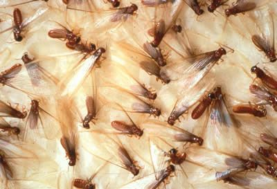 ISOPTEROPHOBIA   Fear Of Termites