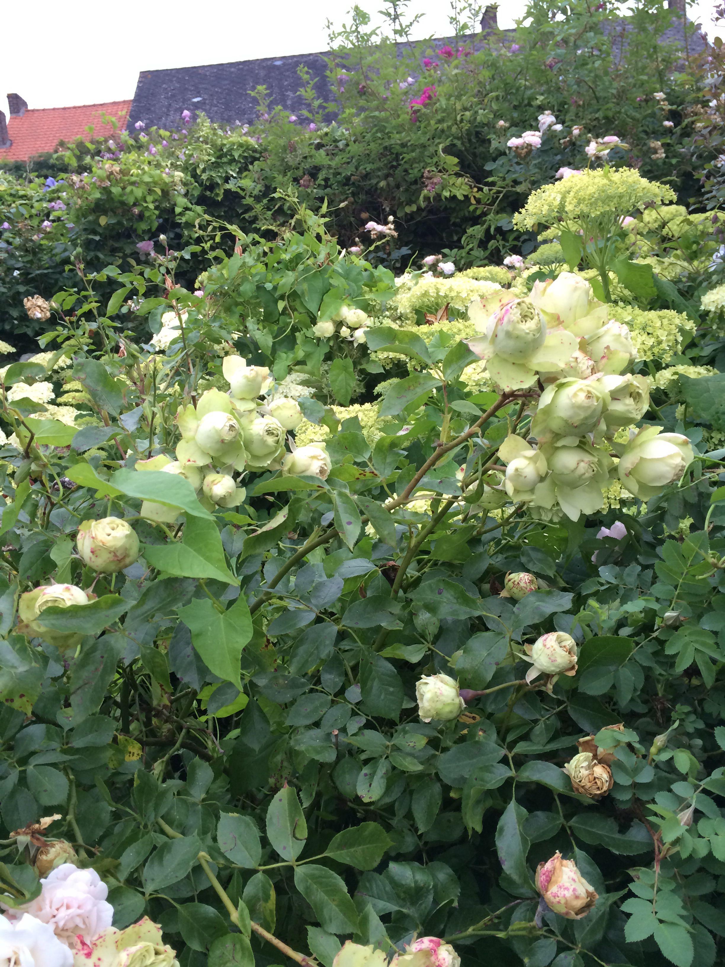 rosier 39 lovely green 39 polyantha rose. Black Bedroom Furniture Sets. Home Design Ideas