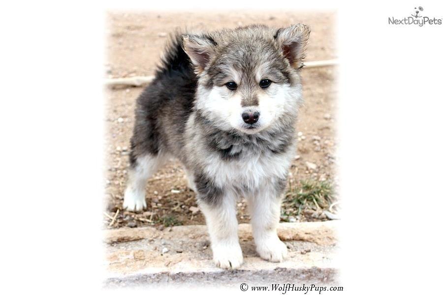 Capone Beautiful Hybrid Wolf Hybrid Puppy For Sale Near Las Vegas Nevada 3e9cfb0b 09a1 Wolf Hybrid Puppies Wolf Hybrid Puppies For Sale