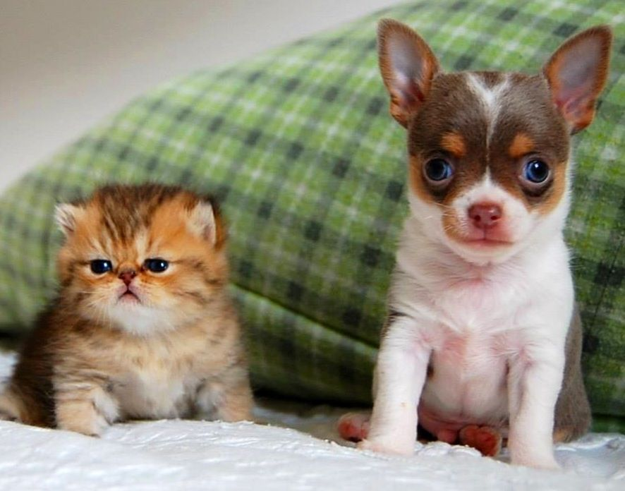 Baby Chihuahua And Persian Kitten Image Via Www Chihuahuafriendzy