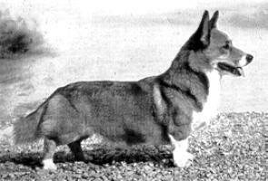 Cardi History Corgi Dog Corgi Butts Corgi