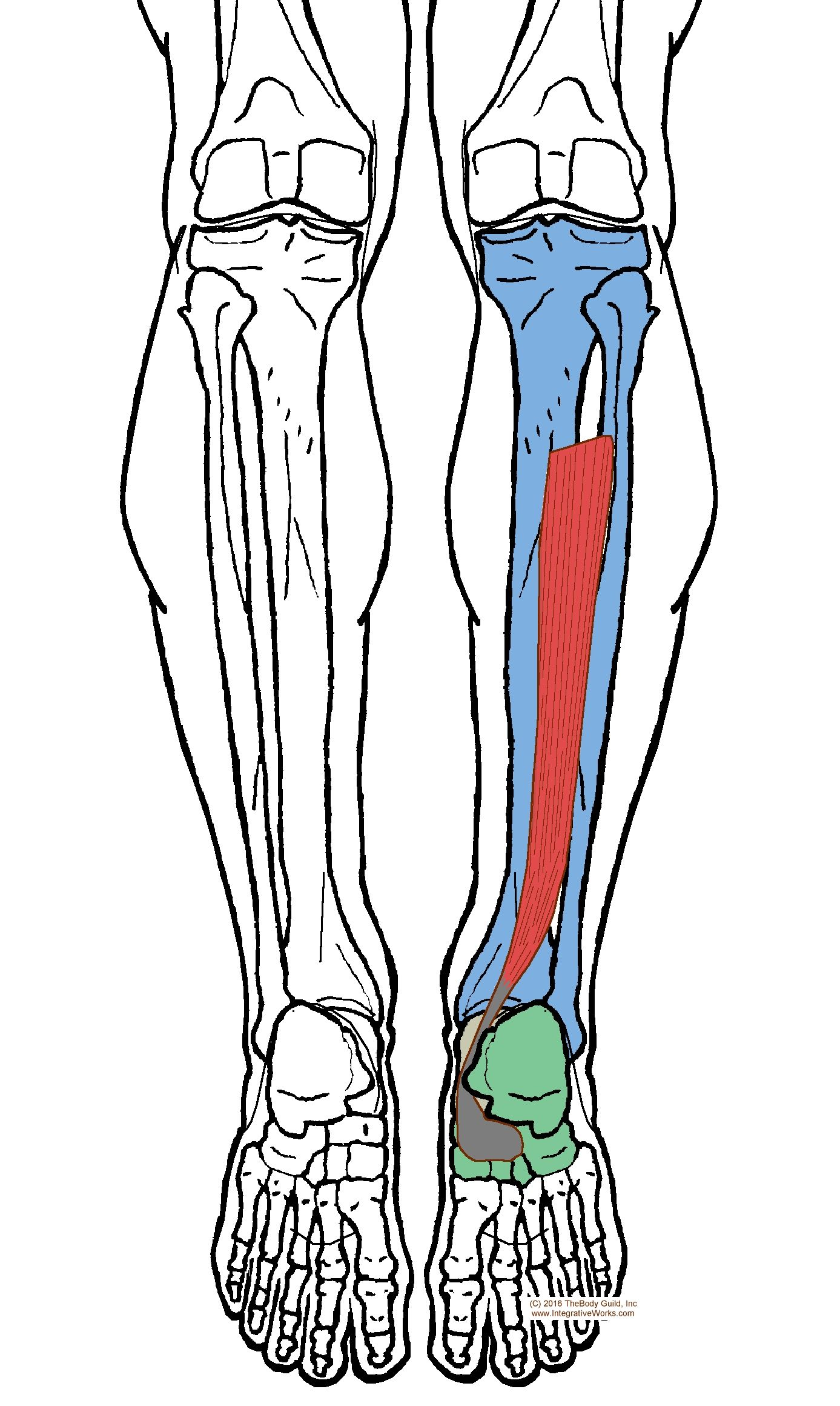 Understanding Trigger Points – Pain in the Achilles Tendon | Muscles ...