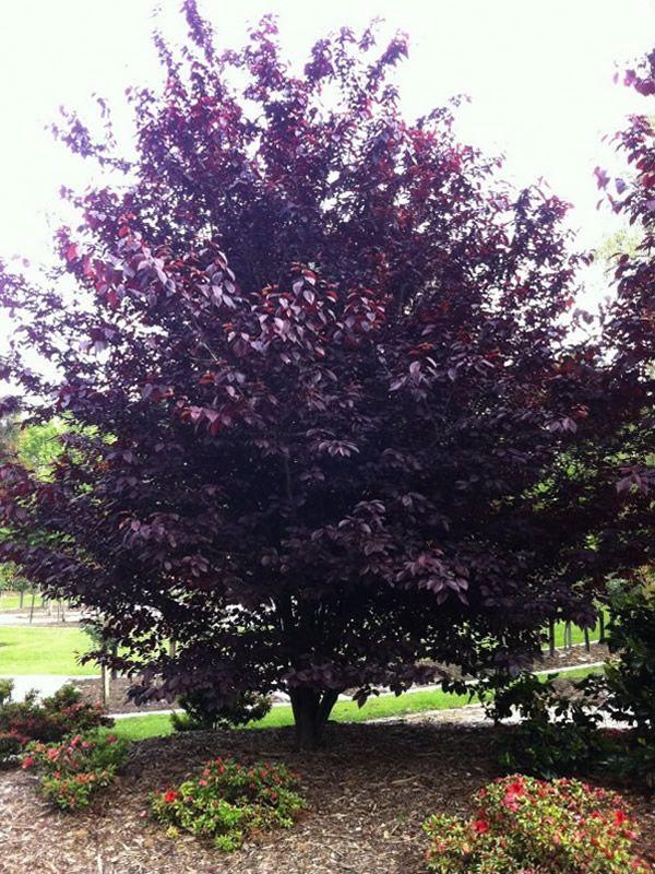 Prunus cerasifera nigra garden pinterest prunus for Garden deciduous trees