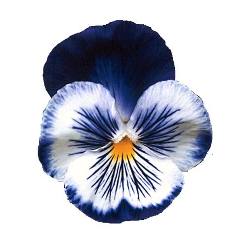 Tatouage pens e pens e pinterest tatouages travaux et tatouage botanique - Tatouage pensee fleur ...