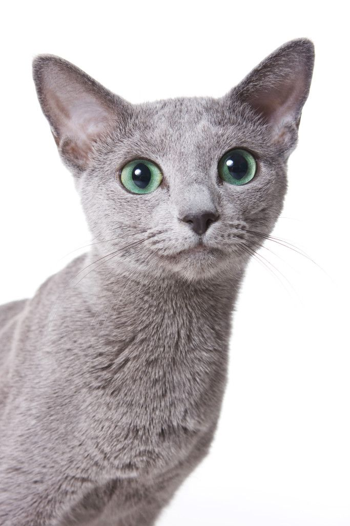Cat Allergies Why Are So Many People Allergic Cat Allergies Russian Blue Cat Russian Blue