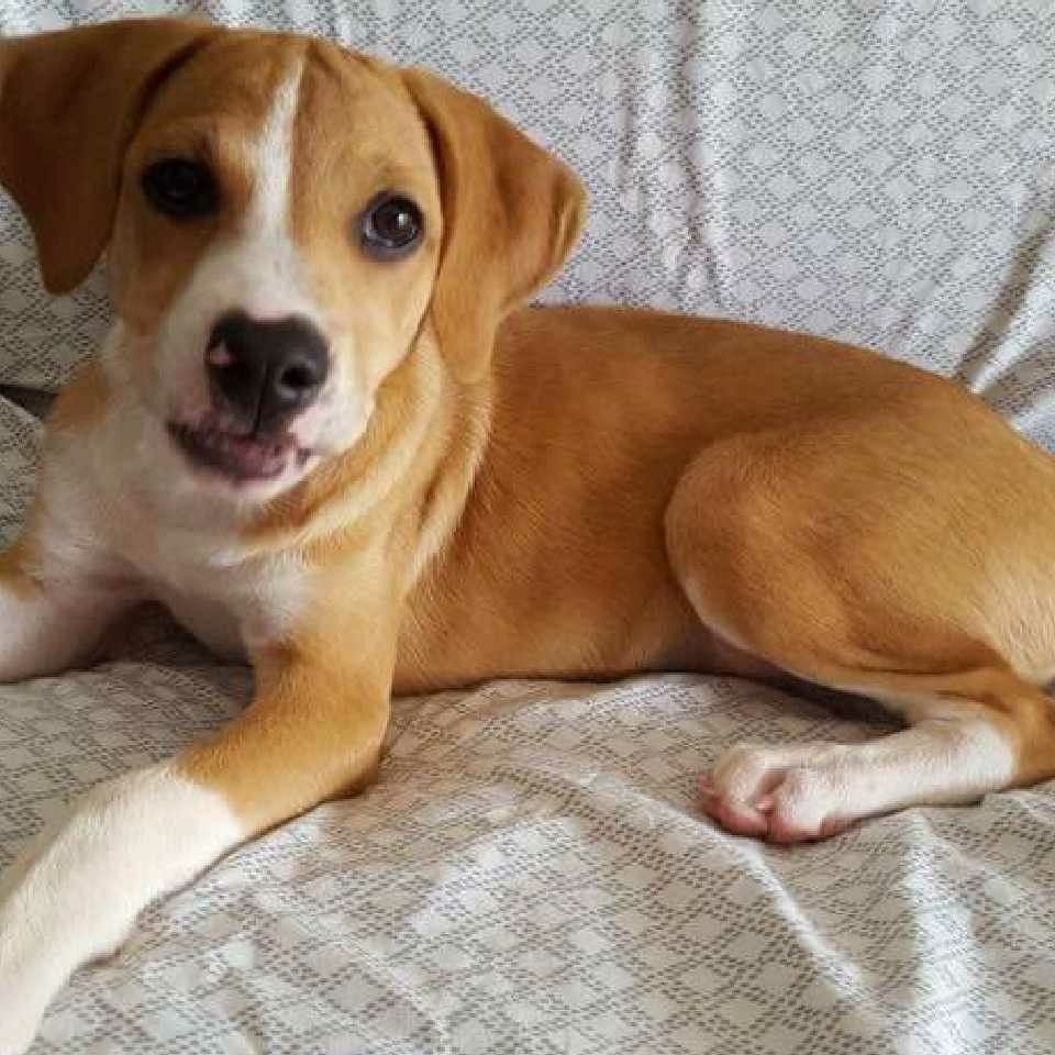 Mokka Our Adopted 3 And A Half Month Old Mixed Beagle Beagle Beagle Dog Therapy Animals
