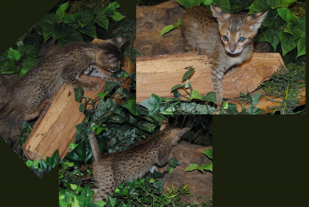 Pin by Michaela Miller on Animals Savannah kittens for