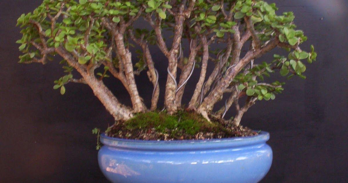 Bonsai For Sale Savannah Georgia Dwarf Jade Portulacaria Jade Bonsai Bonsai Forest Bonsai For Sale