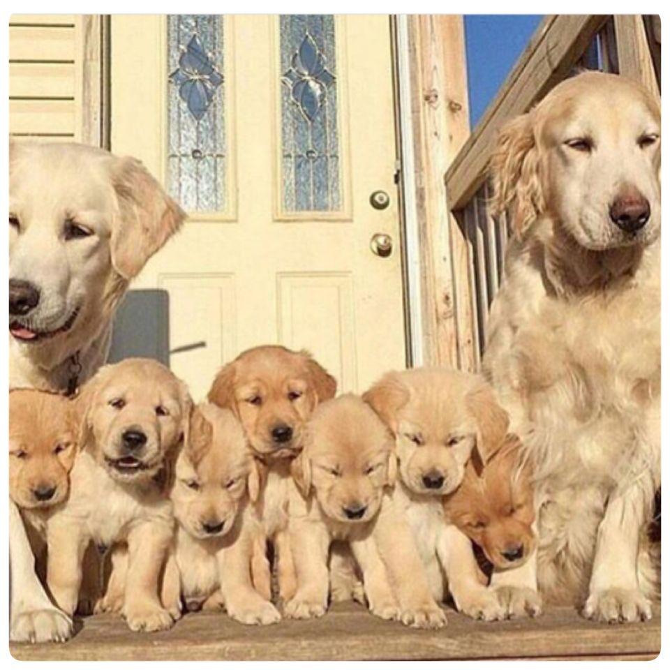 Familia unida cute animals retriever puppy golden