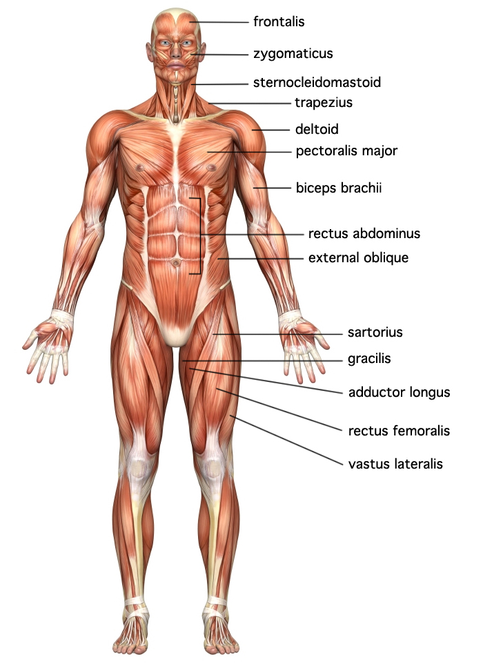 The muscular system explained. Also great pictures of the muscular ...