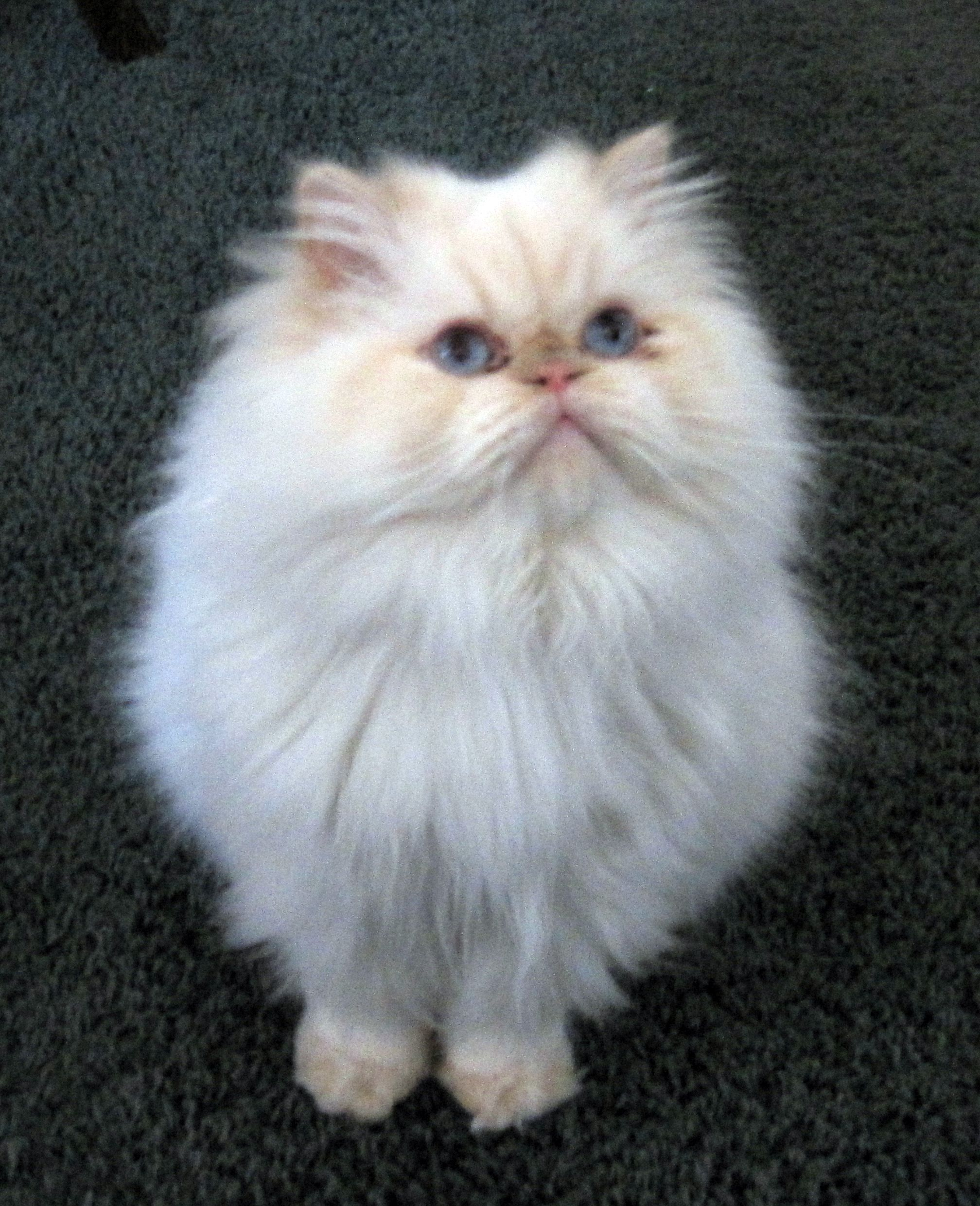 Adopt Max Courtesy On Petfinder Persian Cat Himalayan Cat Himalayan Cat Flame