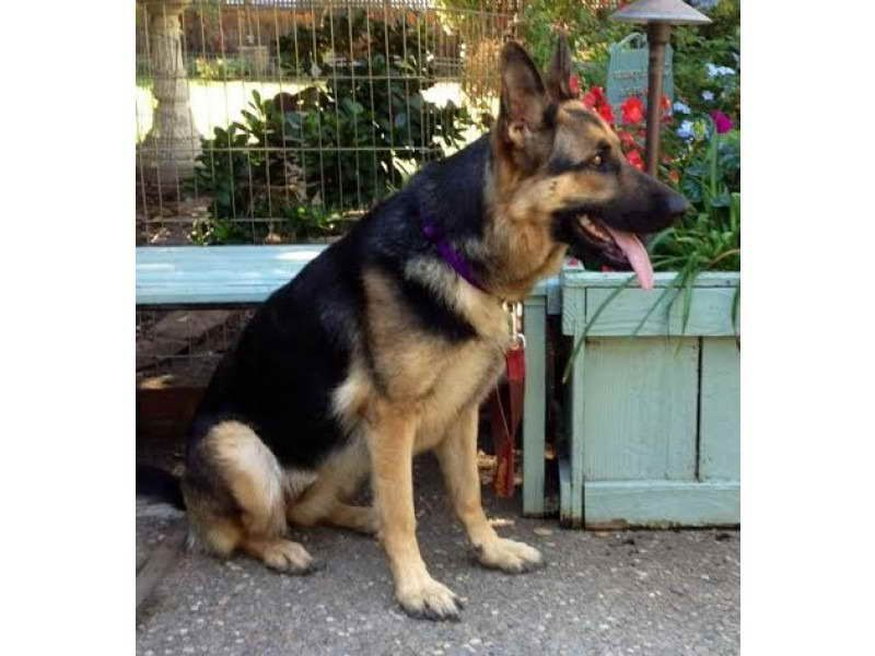 German Shepherd Puppies For Sale On Craigslist