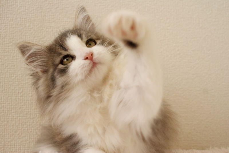 可愛いノルウェージャンフォレストキャットの子猫がデビューです♪ |元ねこのうたブログ|Ameba (アメーバ)
