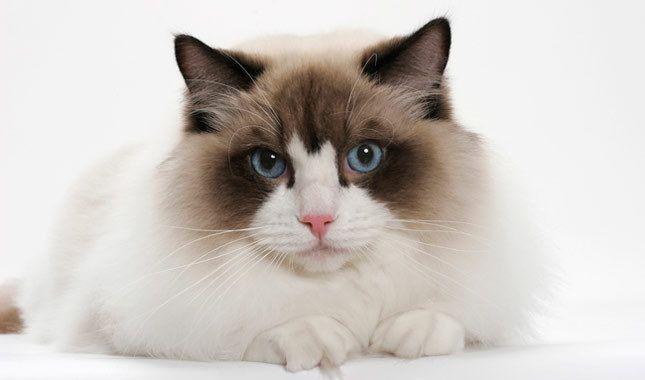 Ragdoll Cat Breed Information Ragdoll Cat Breed Fluffy Cat Breeds Cat Breeds