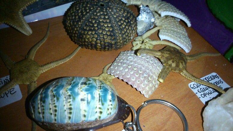 Cucaracha de mar (Santo Domingo),  erizos y estrellas marinas. Colección propia.
