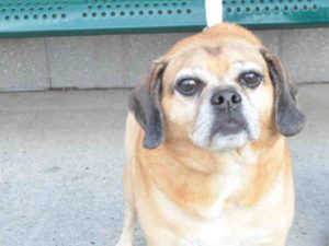 Arrow A1084693 Neutered Male Tan Pug Beagle 5 Yrs Owner Sur