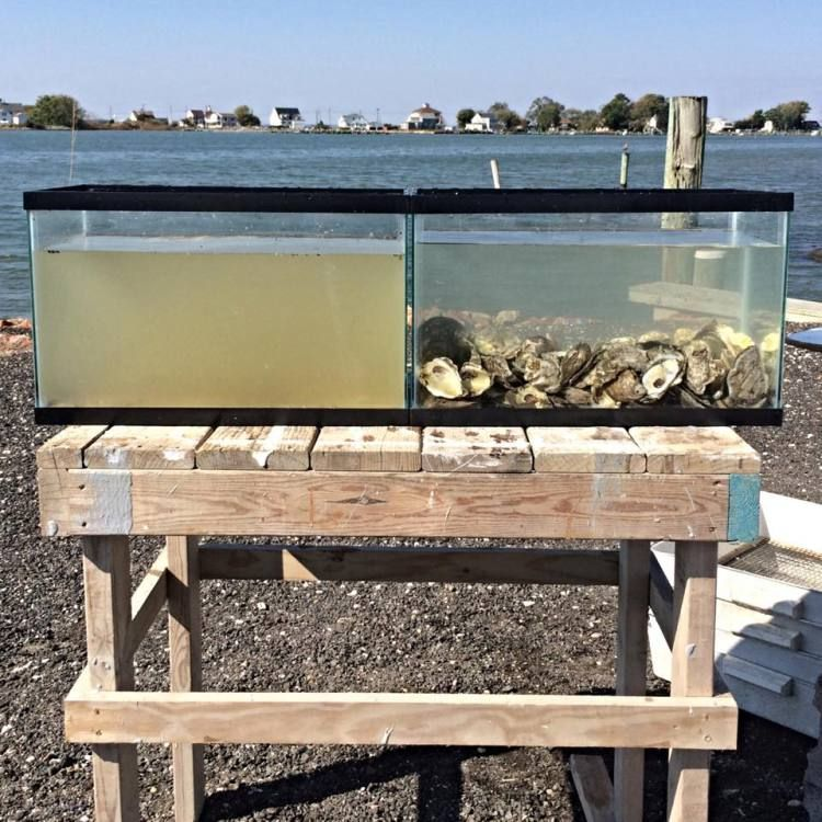 Two tanks of water from the Honga River, one filtered with oysters.