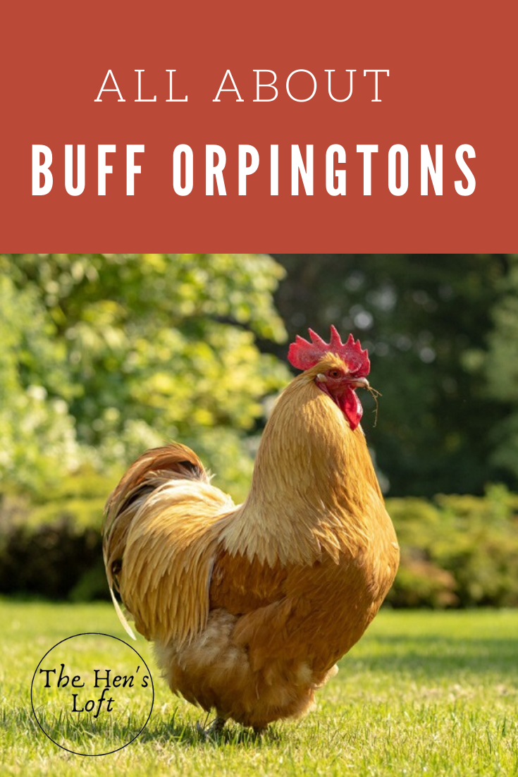 Home The Hen S Loft In 2020 Buff Orpington Chickens Chickens Backyard Chicken Breeds