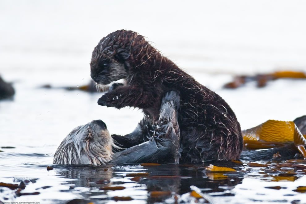 Sea Otter Holding Her Baby As Seen Near Target Rock In The Morro