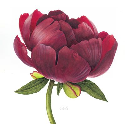 Peony Buckeye Belle - Watercolour by Christine Stephenson - Botanical Artist