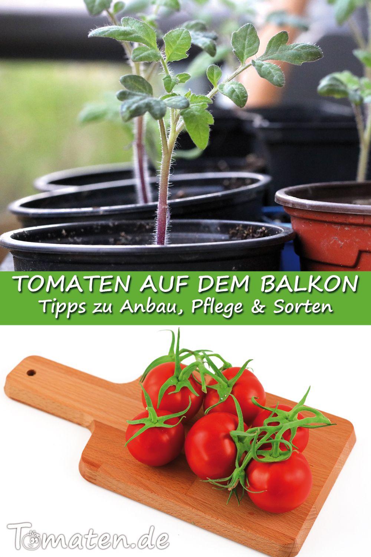 Anbau Von Balkontomaten Tomatenanbau Tomaten Anbau