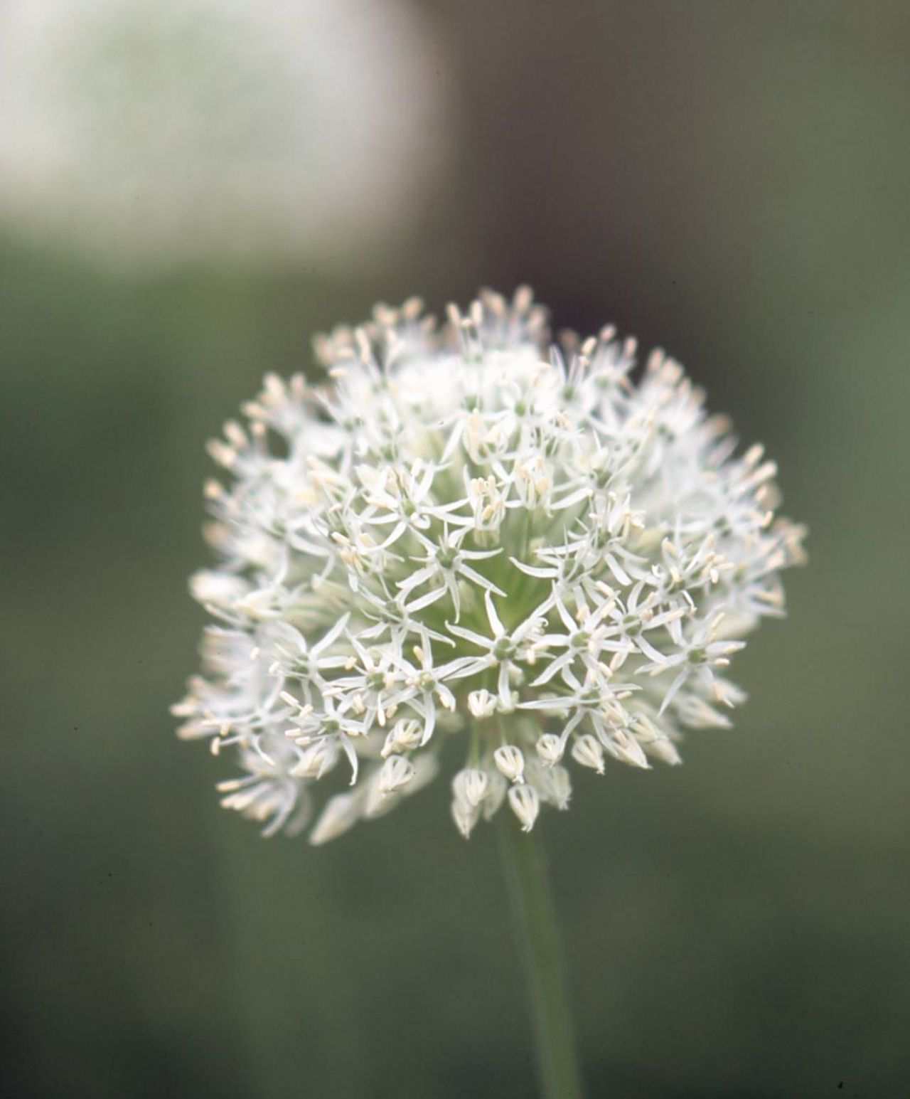 16 Of The Prettiest Allium Varieties To Plant In Your Garden In 2020 Plants White Flower Farm Shade Plants