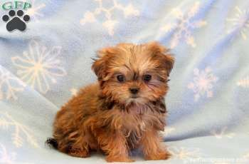 Tessy Shorkie Puppy For Sale From Gap Pa Shorkie Puppies