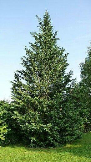 Cipr s es una planta parecida a el pino pero con un color for Arboles perennes en argentina