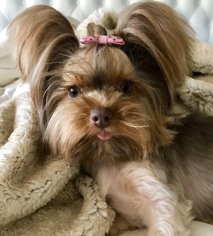 Cute Chocolate Yorkie Fancy Dog Dog Grooming Clippers Yorkie