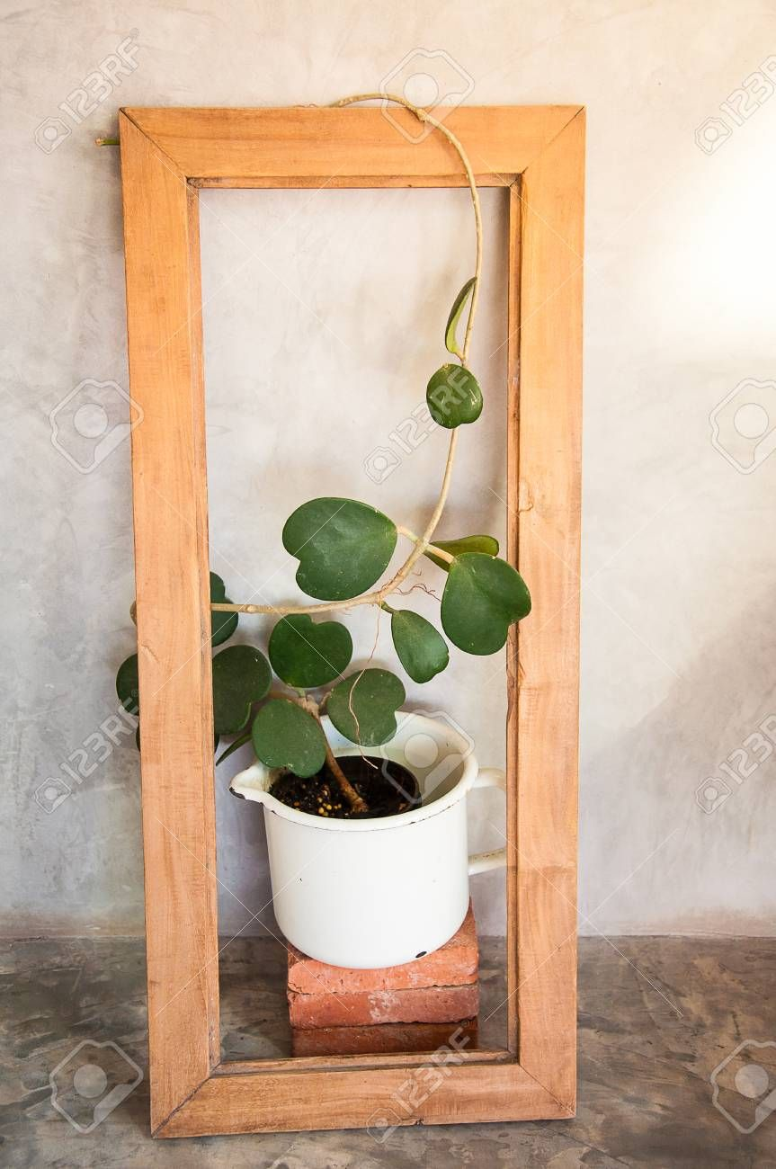 Hoya Plant Kopen Stock Photo Plants Plants Hoya Plants House Plants