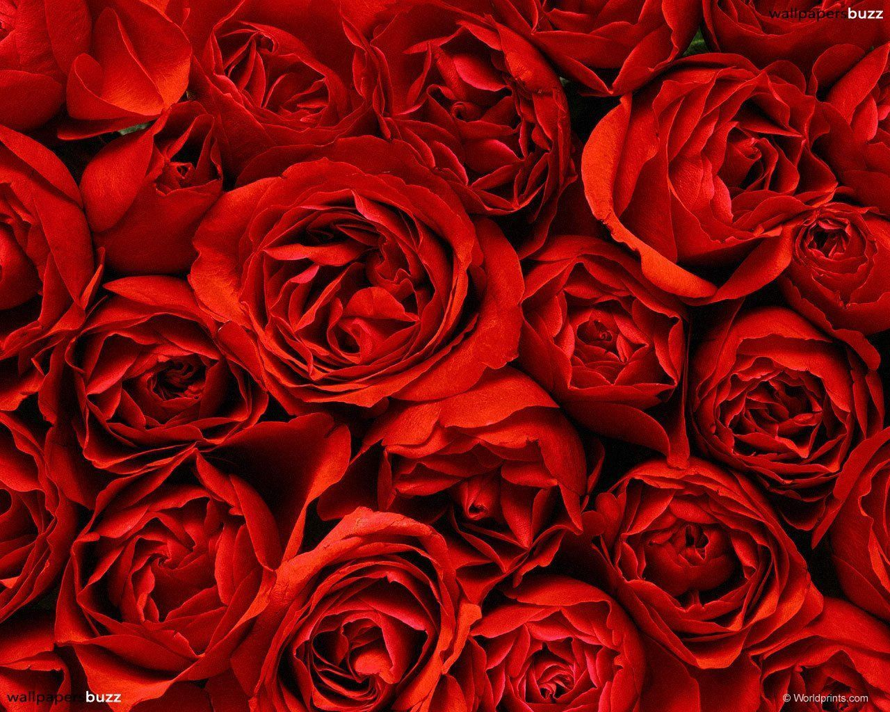 Group Of Red Rose Background Tumblr
