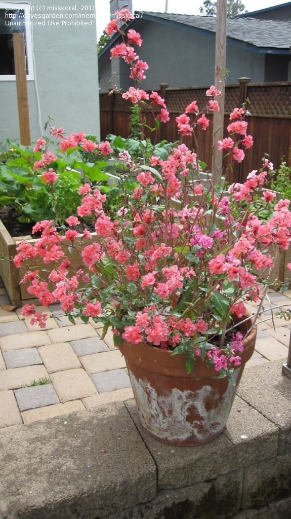 Clarkia Unguiculata Container Plants Trees To Plant Plants