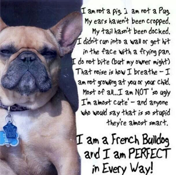♥ French Bulldogs ♥ | French bulldog quotes, French ...