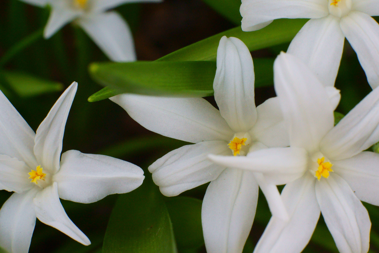 Grote sneeuwroem (Chionodoxa luciliae 'Alba', hoort bij de Stinsenplanten).  #Sneeuwroem #Chionodoxa #Luciliae #Alba #Stinsenplanten #stinzenplanten