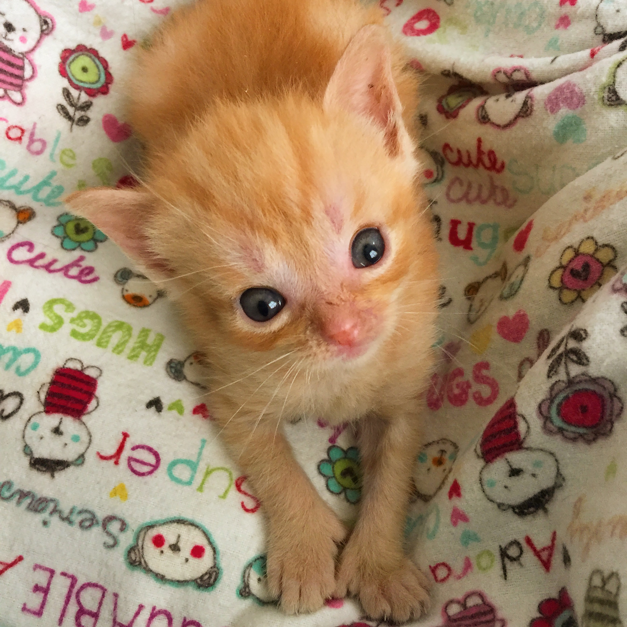Need Funds For Tater Tot The 9 Week Old Hydrocephalic Kitten Lifesaving Shunt Surgery Kitkat Playroom Powered By Donorbox Kitten Baby Animals Cat In Heat