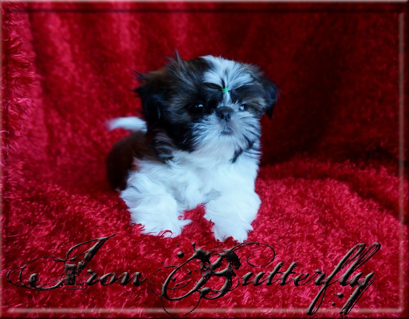 Quality Chinese Imperial Shih Tzu And Tiny Teacup Puppies For Sale Here Health Sweet Temperament A Teacup Puppies For Sale Puppies For Sale Imperial Shih Tzu