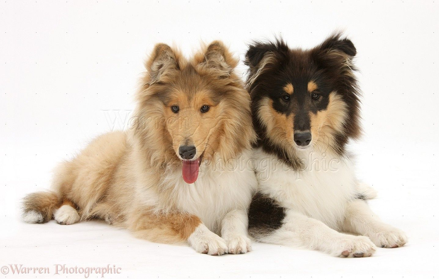 Collies Wp28631 Rough Collies Laddie And Flynn 5 Months Old