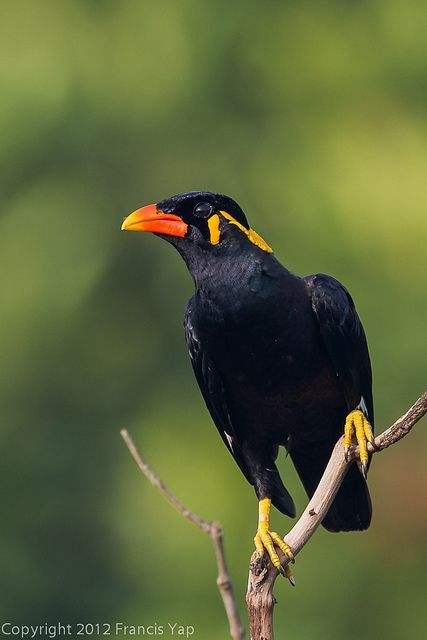 Common Hill Myna. Con Nhong in Vietnam able to speak human ... - photo#21