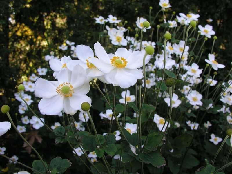 Anemone X Hybrida Honorine Jobert Long Blooming Perennials Perennials Shade Plants
