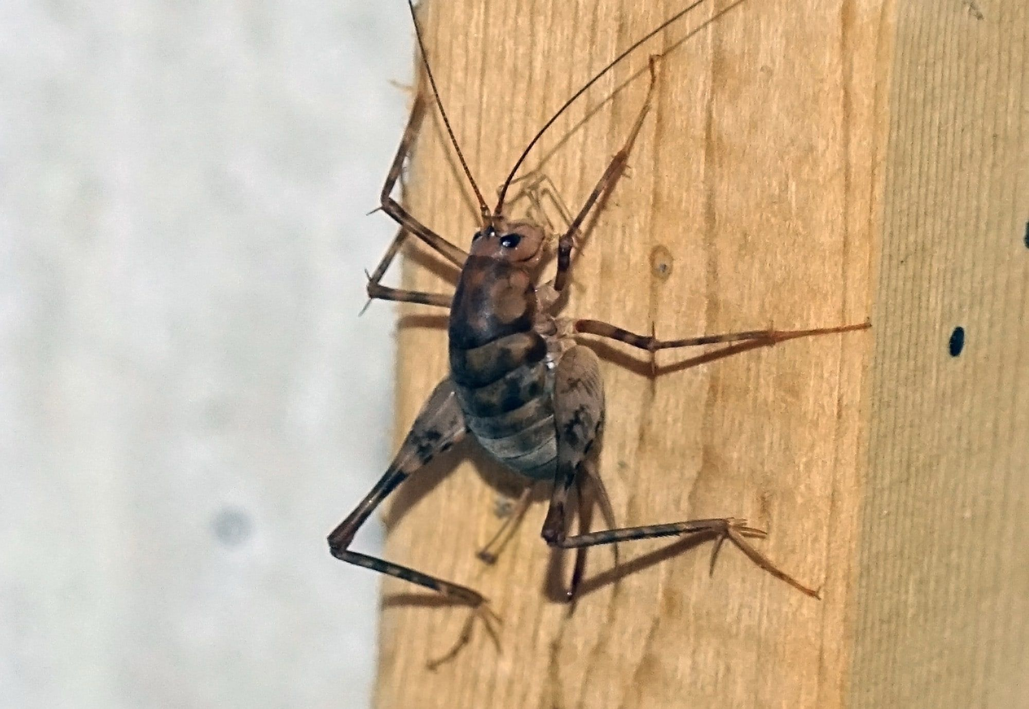 Spider Crickets The Bugs You Don T Want In Your House This Fall Spider Bugs Cricket