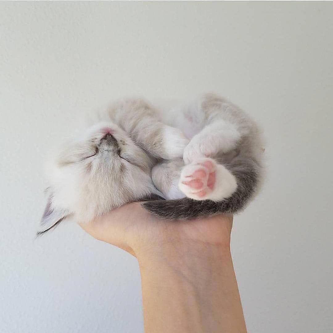 Tiny Kitten From Flowerbabyragdolls Notification On