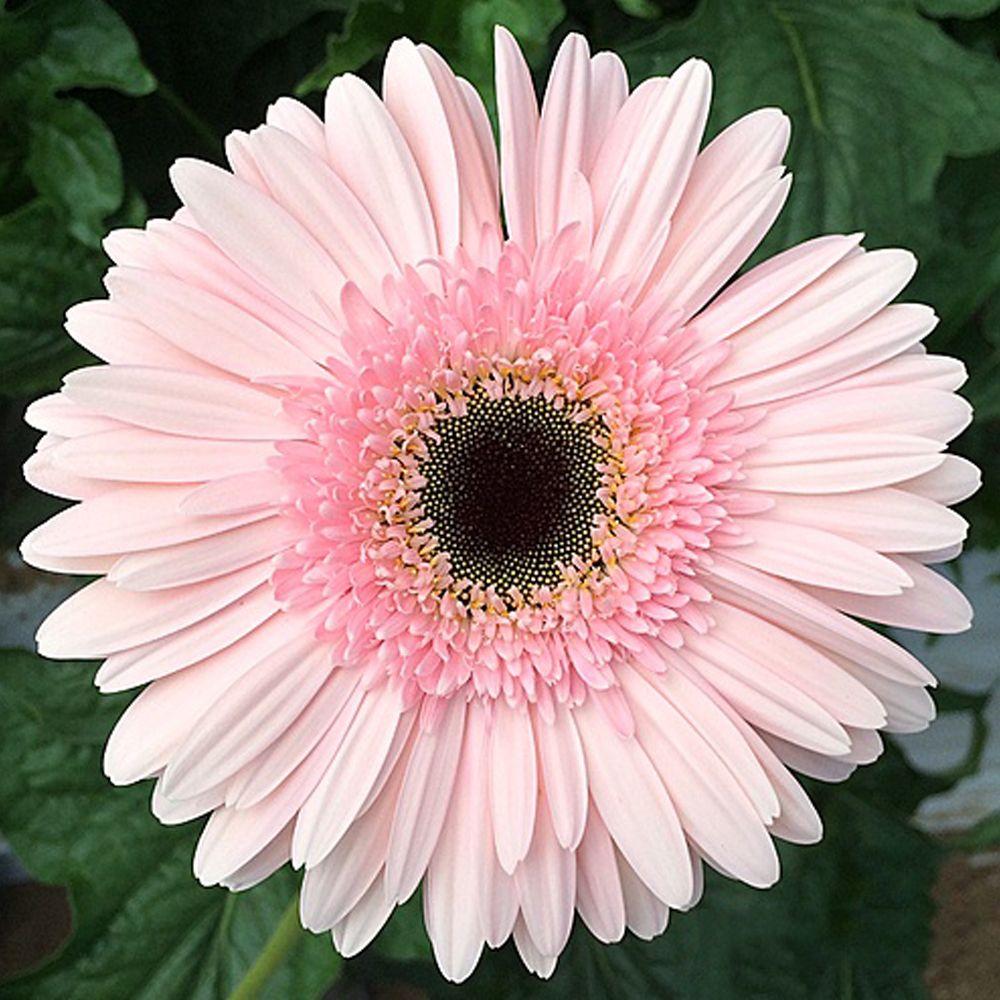 Pink Series Gerbera Daisy Seeds 20 Perennial Gerbera Jamesonni Plants In 2020 Gerbera Daisy Seeds Gerbera Daisy Gerbera