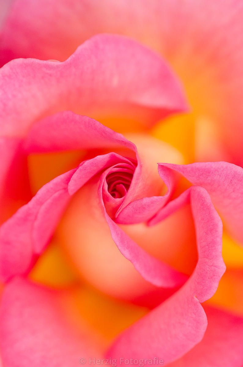 Photo Rosa Pink Paradise Rose By Tina Horst Herzig Photography