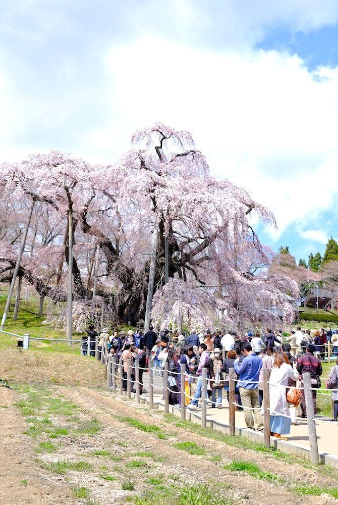 Miharu Takizakura In Fukushima Waterfall Cherry Tree Over 1000 Years Old Miharu Fantasy Inspiration Amazing Nature