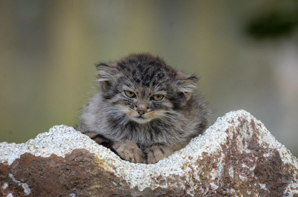 Bean On Twitter In 2021 Cats Wild Cat Species Small Wild Cats