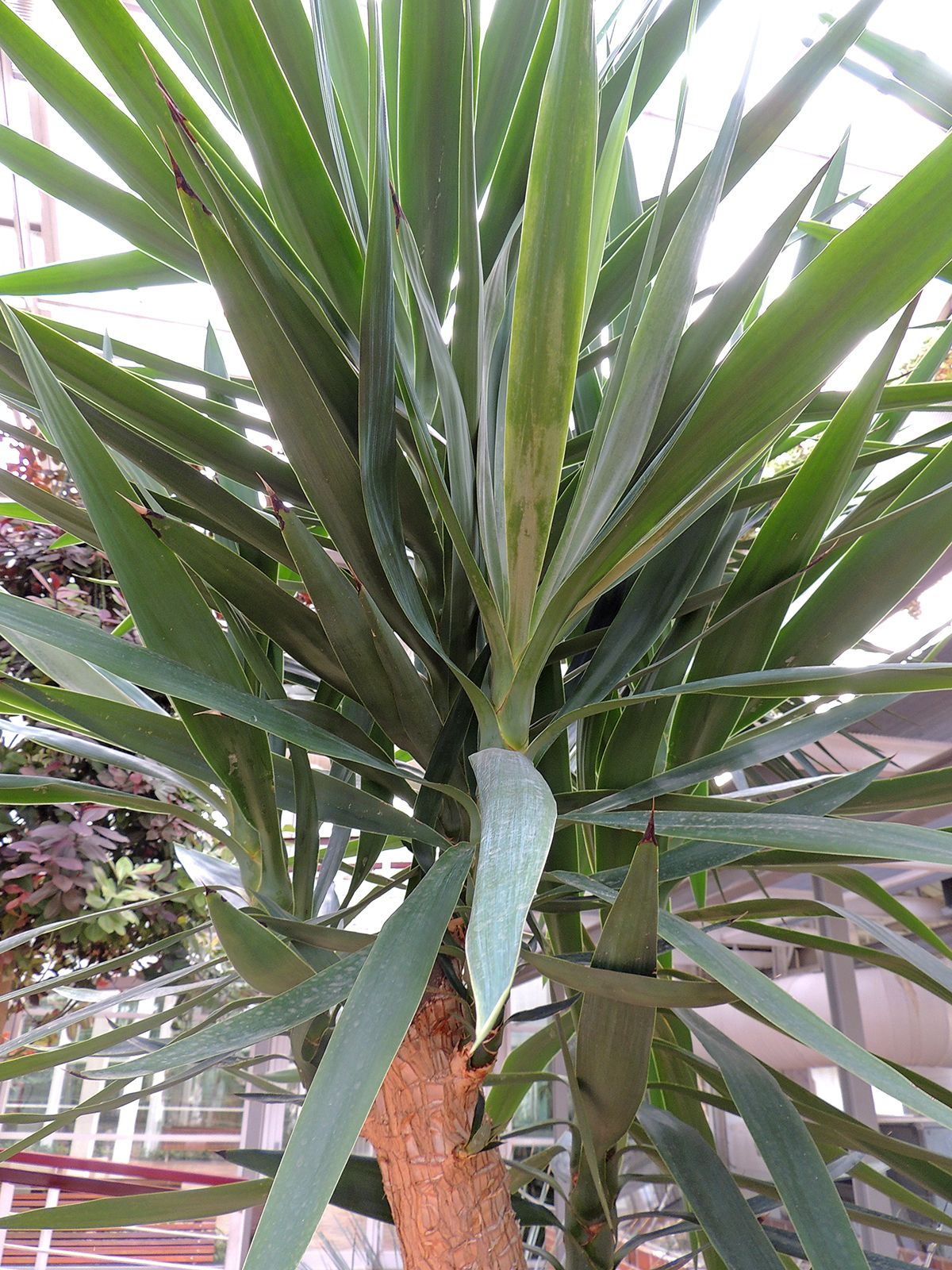 Yucca elephantipes http://www.elhogarnatural.com/Arboles.htm