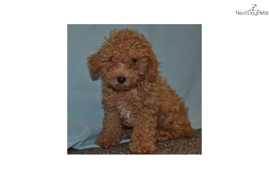 I Am A Cute Malti Poo Maltipoo Puppy Looking For A Home On Nextdaypets Com Maltipoo Puppy Puppies Puppies For Sale